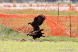 Golden Eagles Mating