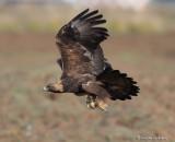 Golden Eagle In Flight With Gopher Snake