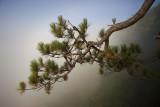 Pine branch in fog.
