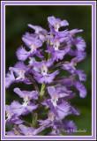 Purple Fringe Orchis