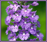 Purple Fringed Orchis 4
