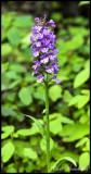 Purple Fringed Orchis 1