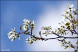 Branch of Juneberry tree