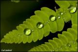 Interrupted fern