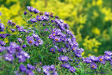 New England Asters &  Goldenrod