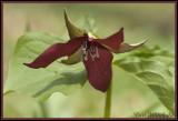 Red or Nodding Trillium