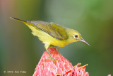 Sunbird, Brown-throated (female) @ MOG