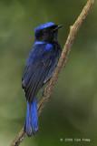 Niltava, Large (male) @ Hemmant Trail