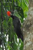 Woodpecker, White-bellied (female) @ Subic