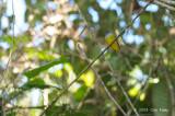 Flycatcher, Grey-headed Canary @ Telecom Loop