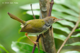 Tailorbird, Common @ SBWR