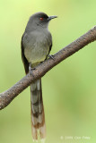 Sibia, Long-tailed @ Jalan Lady Guillemard
