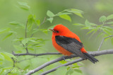 Tanager, Scarlet (male) @ Central Park, NY