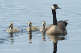 Goose, Canada @ Cape May, NJ