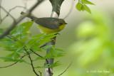 Warbler, Canadian (female) @ Central Park, NY