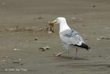 Gull Herring @ Chincoteague