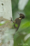 Woodpecker, Buff-necked (female)
