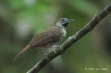 Babbler, Chestnut-rumped (immature)