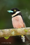 Broadbill, Black-and-yellow (male)