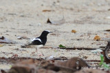 Forktail, White-crowned