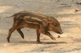 Pig, Eurasian Wild (juv)