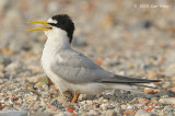 Tern, Little @ Tuas