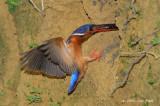 Kingfisher, Blue-eared (female)