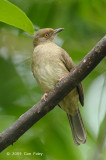 Bulbul, Asian Red-eyed