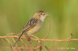 Cisticola, Golden-headed