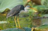 Heron, Pied @ Fogg Dam