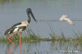 Stork, Black-necked (female) @ Mamukala Wetlands