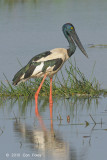 Stork, Black-necked (female) @ Mamukala Wetlands