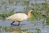 Spoonbill, Royal @ Mamukala Wetlands