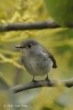 Flycatcher, Little Pied (female) @ Mt. Polis