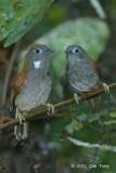 Babbler, Chestnut-winged