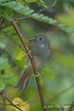 Babbler, Chestnut-winged @ Upper Peirce