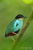 Pitta, Steere's @ Rajah Sikatuna National Park