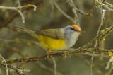 Tailorbird, Mountain