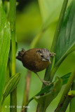 Babbler, Grey-throated @ Bukit Tinggi