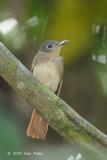 Philentoma, Rufous-winged (female)