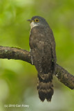 Cuckoo, Dark Hawk