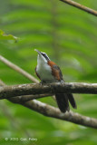 Babbler, Chestnut-backed Scimitar