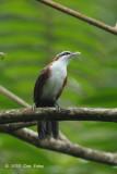 Babbler, Chestnut-backed Scimitar @ Bukit Tinggi