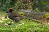 Sicklebill, Brown (female) @ Kumul Lodge