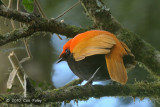 Satinbird, Crested (male) @ Kumul Lodge