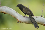 Coucal, Pheasant @ Virirata National Park