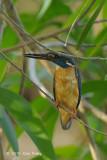Kingfisher, Common (female) @ Pacific Adventist Universary