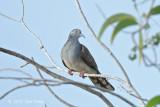Dove, Bar-shouldered @ Pacific Adventist Universary