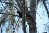 Bird-of-paradise, Lesser (female) @ Kama