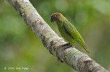 Parrot, Red-cheeked